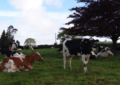 Milking-Cows-Chewing-Cud-Farwood-Barton-Farm-Colyton-Devon