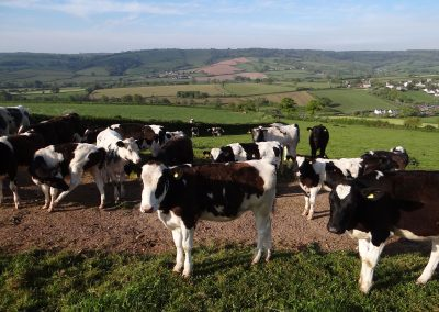 Milking-Cows-Waiting-Farwood-Barton-Farm-Colyton-Devon